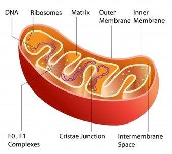 structure-of-mitochondria1