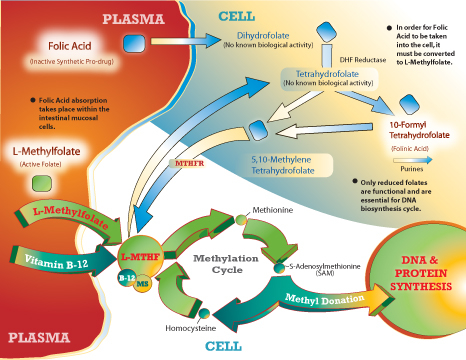 methylation_cycle